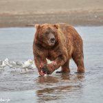 6870 Kodiak Bear, Katmai National Park, Alaska