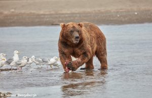 6870 Kodiak Bear, Katmai National Park, Alaska