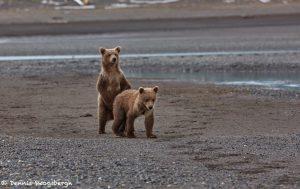 6871 Kodiak Bear Cubs, Katmai National Park, Alaska