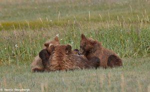 6872 Kodiak Bear Cubs Feeding, Katmai National Park, Alaska
