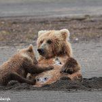 6873 Kodiak Bear Cub Feeding, Katmai National Park, Alaska