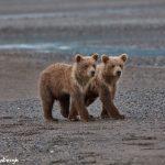 6874 Kodiak Bear Cubs , Katmai National Park, Alaska