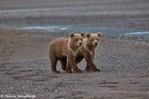 6874 Kodiak Bear Cubs , Katmai National Park, Alaska