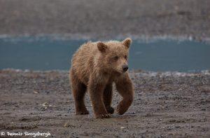 6875 Kodiak Bear Cub , Katmai National Park, Alaska