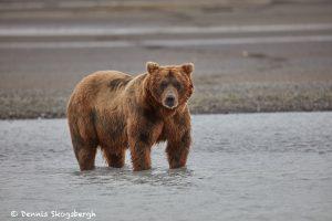 6852 Kodiak Bear, Katmai National Park, Alaska