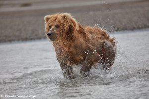 6876 Kodiak Bear, Katmai National Park, Alaska