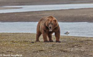 6877 Kodiak Bear, Katmai National Park, Alaska
