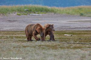 6878 Kodiak Bears, Katmai National Park, Alaska