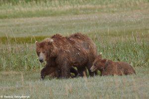 6879 Kodiak Bear with Cub, Katmai National Park, Alaska