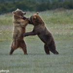 6884 Kodiac Bears Sparring, Katmai National Park, Alaska