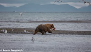 6885 Kodiak Bear, Katmai National Park, Alaska