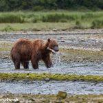 6886 Kodiak Bear, Katmai National Park, Alaska