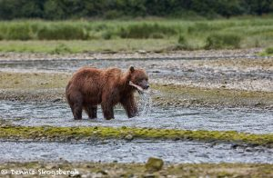 6886 Kodiak Bear, Katmai National Park, Alaska