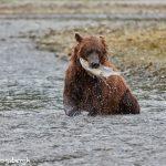 6887 Kodiak Bear, Katmai National Park, Alaska