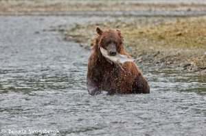 6887 Kodiak Bear, Katmai National Park, Alaska