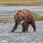 6888 Kodiak Bear, Katmai National Park, Alaska