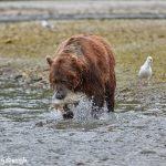 6889 Kodiak Bear, Katmai National Park, Alaska
