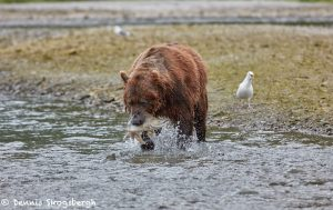 6889 Kodiak Bear, Katmai National Park, Alaska