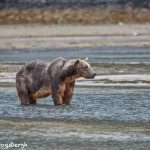 6890 Kodiak Bear, Katmai National Park, Alaska