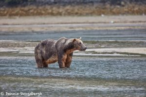 6890 Kodiak Bear, Katmai National Park, Alaska