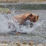 6892 Kodiac Bear, Katmai National Park, Alaska