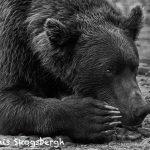 6900 Kodiak Brown Bear, Alaska