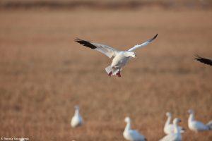 6901 Snow Goose, Bosque del Apache, NM