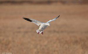 6902 Snow Goose, Bosque del Apache, NM