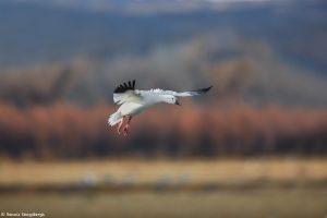 6904 Snow Goose (Chen caerulescens), Bosque del Apache, NM