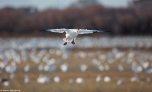 6906 Snow Goose (Chen caerulescens), Bosque del Apache, NM