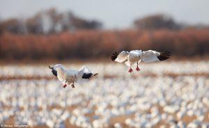6907 Snow Geese (Chen caerulescens), Bosque del Apache, NM