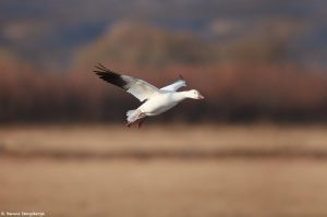 6909 Snow Goose (Chen caerulescens), Bosque del Apache, NM