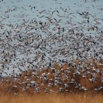 6919 Snow and Ross's Geese 'Lift-off', Bosque del Apache, NM
