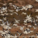 6920 Swarming Snow and Roos's Geese, Bosque del Apache, NM 1