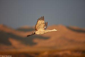 6923 Sunrise, Sandhill Crane (Grus canadensis), Bosque del Apache, NM