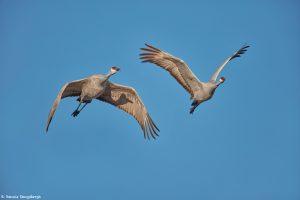 6931 Sandhill Crane (Grus canadensis), Bosque del Apache, NM