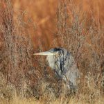 6938 Great Blue Heron (Ardea herodias), Bosque del Apache, NM