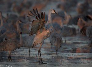 6941 Canada Geese (Branta canadensis), Bosque del Apache, NM