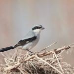 6947 Loggerhead Shrike (Lanius ludovicianus), Bosque del Apache, NM