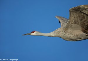 6949 Sandhill Crane (Grus canadensis), Bosque del Apache, NM
