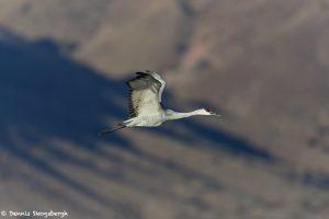 6951 Sandhill Crane (Grus canadensis), Bosque del Apache, NM