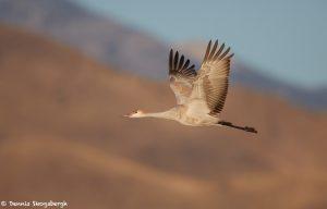 6952 Immature Sandhill Crane (Grus canadensis), Bosque del Apache, NM