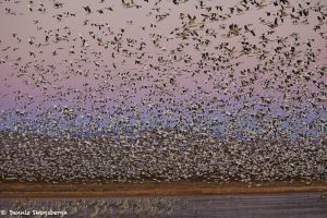 6953 Geese 'Lift-off', Crane Pool, Bosque del Apache, NM