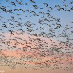 6954 Geese 'Lift-off', Crane Pool, Bosque del Apache, NM