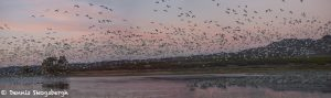 6955 Panorama AM Arrival of snow geese, Bosque del Apache, NM