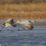 6958 Sandhill Cranes (Grus canadensis), Bosque del Apache, NM
