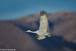 6961 Sandhill Crane (Grus canadensis), Bosque del Apache, NM