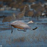 6964 Sandhill Crane (Grus canadensis), Bosque del Apache, NM