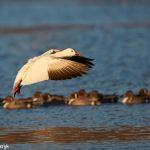 6966 Snow goose (Chen caerulescens), Bosque del Apache, NM