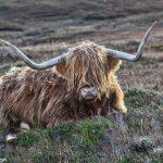 6985 Highland Cow, Elgol, Scotland